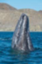 ballena gris.jpeg