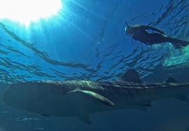Stef whale shark 001 copia.jpg