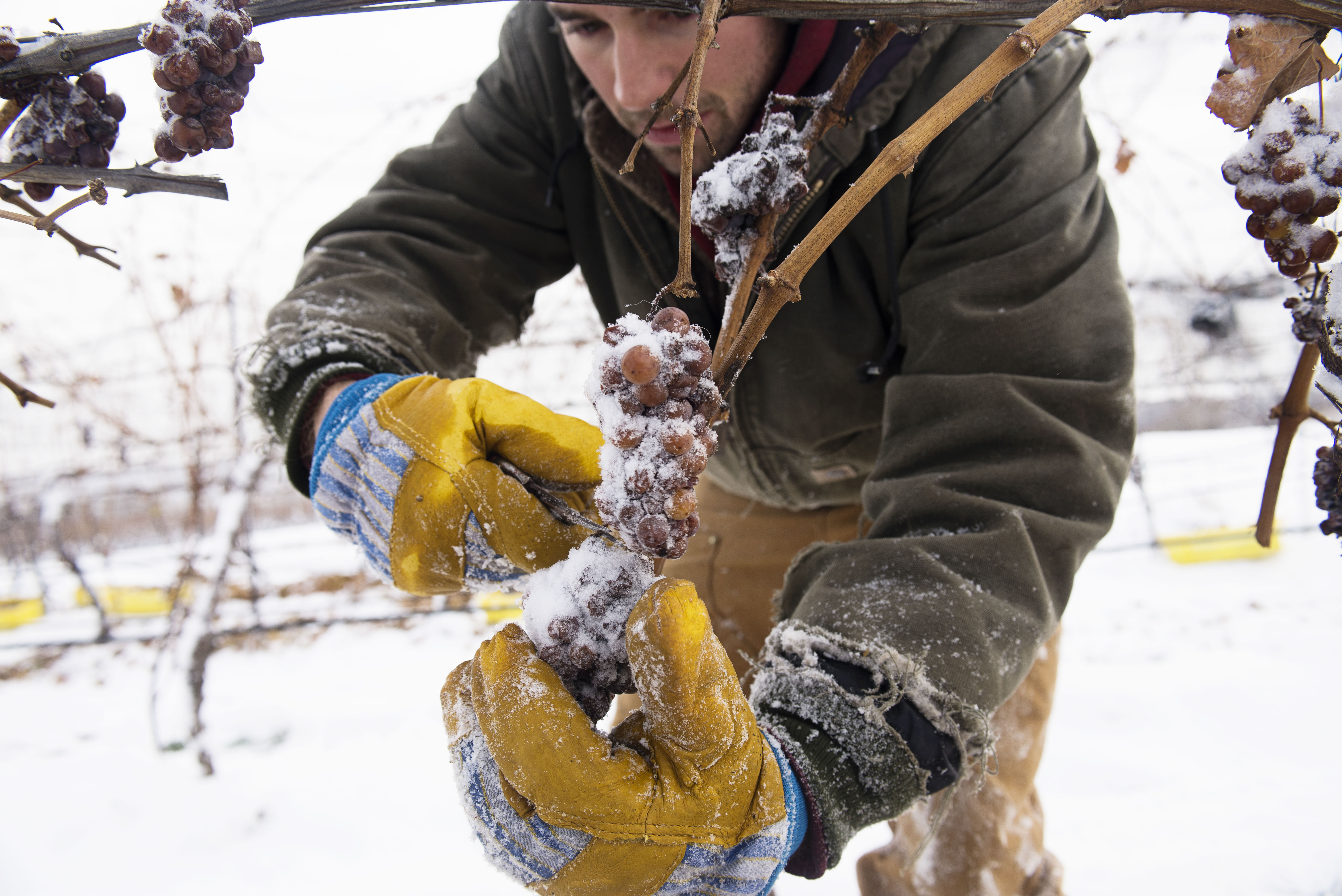 Finger Lakes Ice Wine Harvest