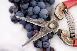 Ice Wine Harvest