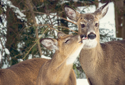 Old Forge Whitetails