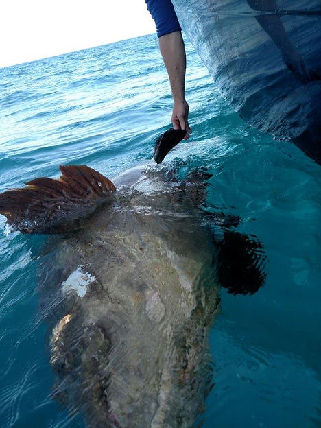 Fishing Florida's Forgotten Coast Goliath Grouper