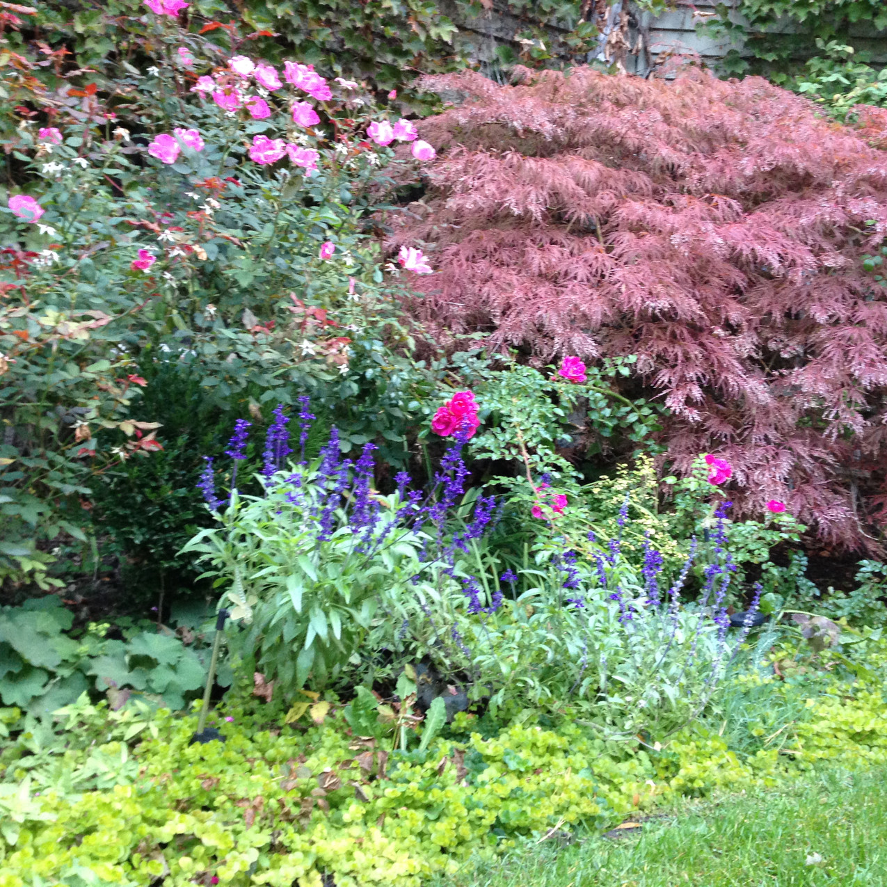 Japanese maple in back, knock out rises, tall phlox, annual salvia and creeping Jenny ground cover