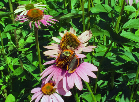 Where to Buy Native Plants & Perennials