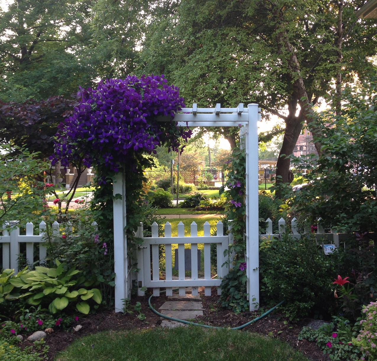 Garden gate with 'Jackmanii' clematis