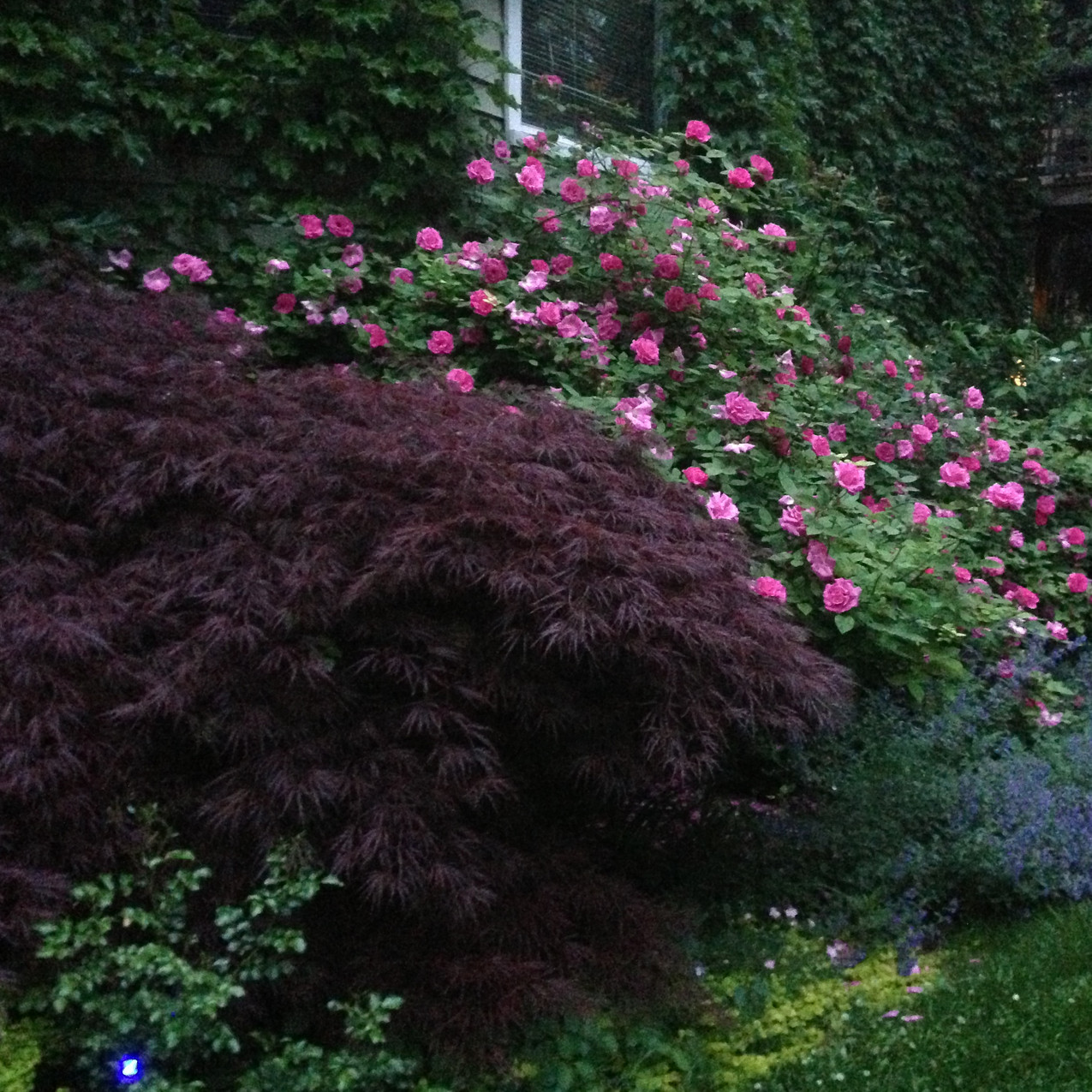 """Japanese maple with climbing rose above and nepeta 'Walkers Low"""" under the rose"""