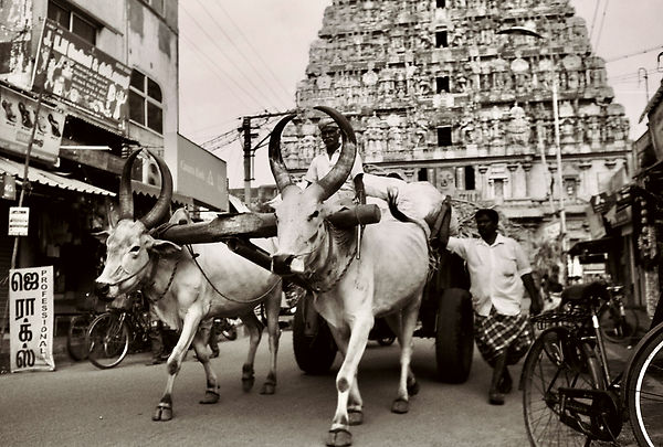 Film_�_Traditional_Indian_Cow.jpeg