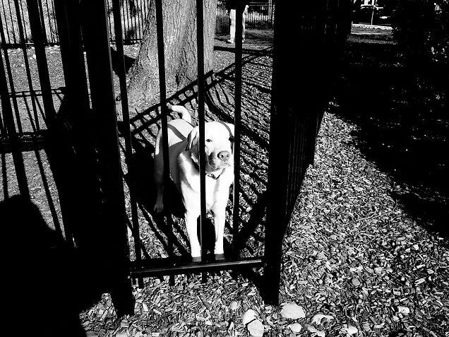 White Dog in Sunlight.jpg