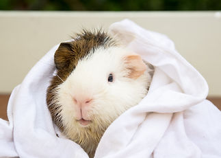 Wet a Guinea pigs with a towel wrap, It'