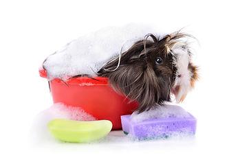 Cute guinea pig taking a bath in a soap