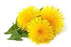 Dandelions flowers with dandelion leaf i