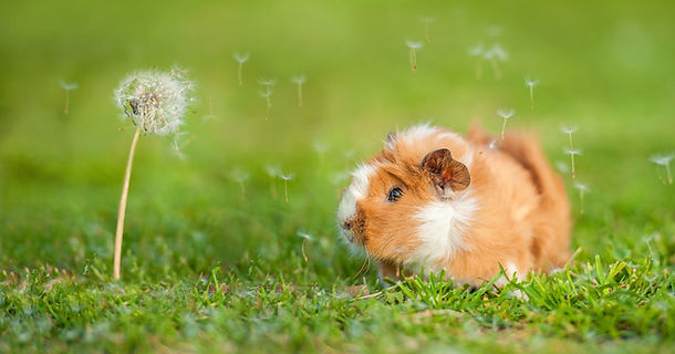Guinea pig and dandelion with blowing se