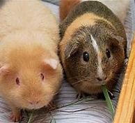 guineas.jpg