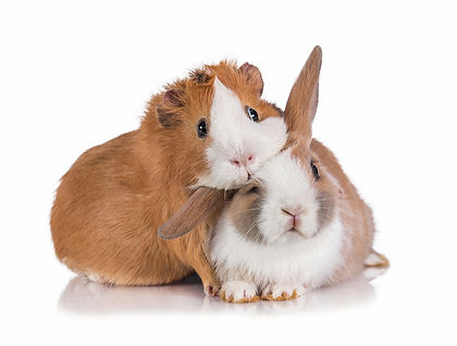 Little dwarf rabbit with guinea pig isol