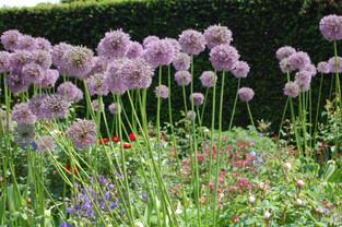 Alliums at RHS Rosemoor