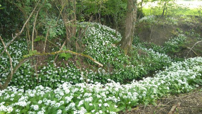 Wild garlic everywhere!