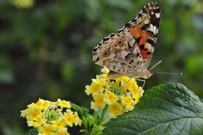 Portrait macro (Papillon)