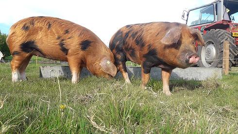 Oxford Sandy & Black pig; Massey Ferguson 590; Woodfrys Farm; North Dorset