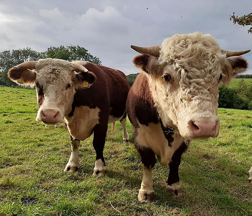 Traditional Herefords, Woodfrys Farm, North Dorset, rare breed, pedigree