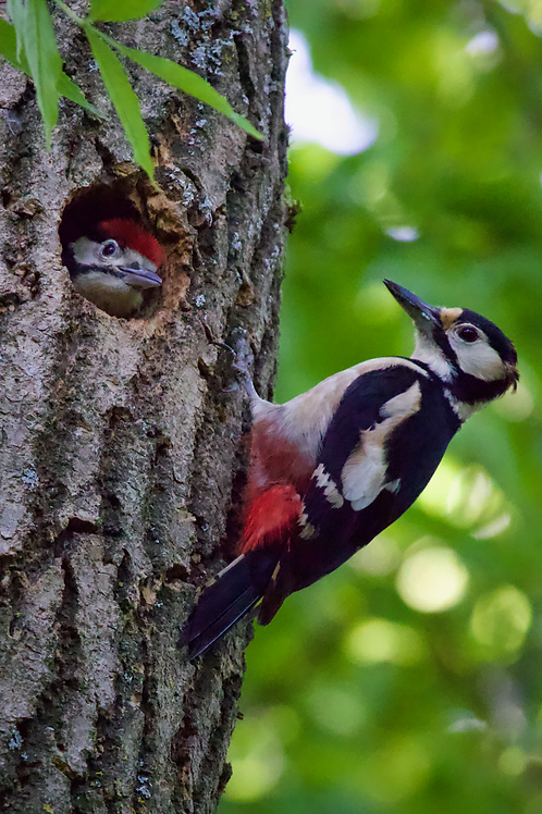 Great Spotted Woodpecker & Chick Giclée Fine Art Print