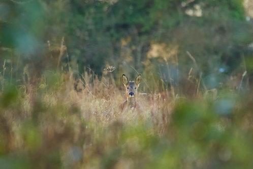 Roe Deer Staring Giclée Fine Art Print
