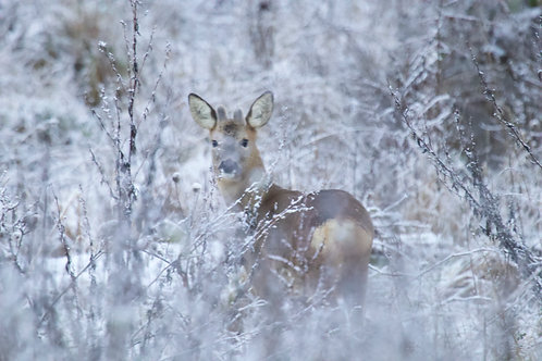 Roe in the Snow
