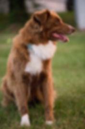 Raford Viriginia, Austrailian Shephard, Rescue dog, Mountain Tails animal rescue.