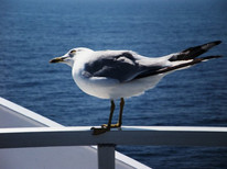 A gull hitches a ride on my Canadian ferry