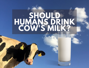Should Human Beings Drink Cow's Milk? a cow and a blue sky
