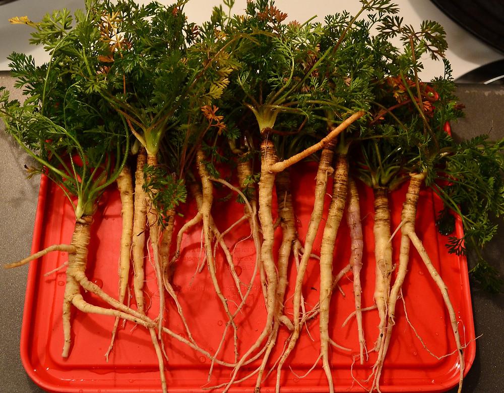 Are carrots natural non hybrids