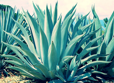 Is Agave Bad For You? Is Agave Healthier Than Sugar?