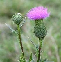 thistle weed.jpg