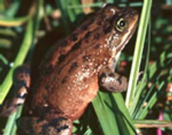 OregonSpotted Frog