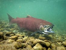 Reintroduction of Salmon