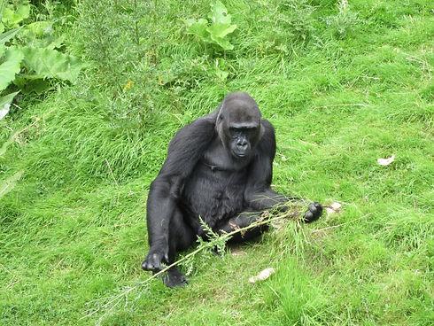gorilla own picture.jpg