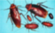 Cockroach1.png