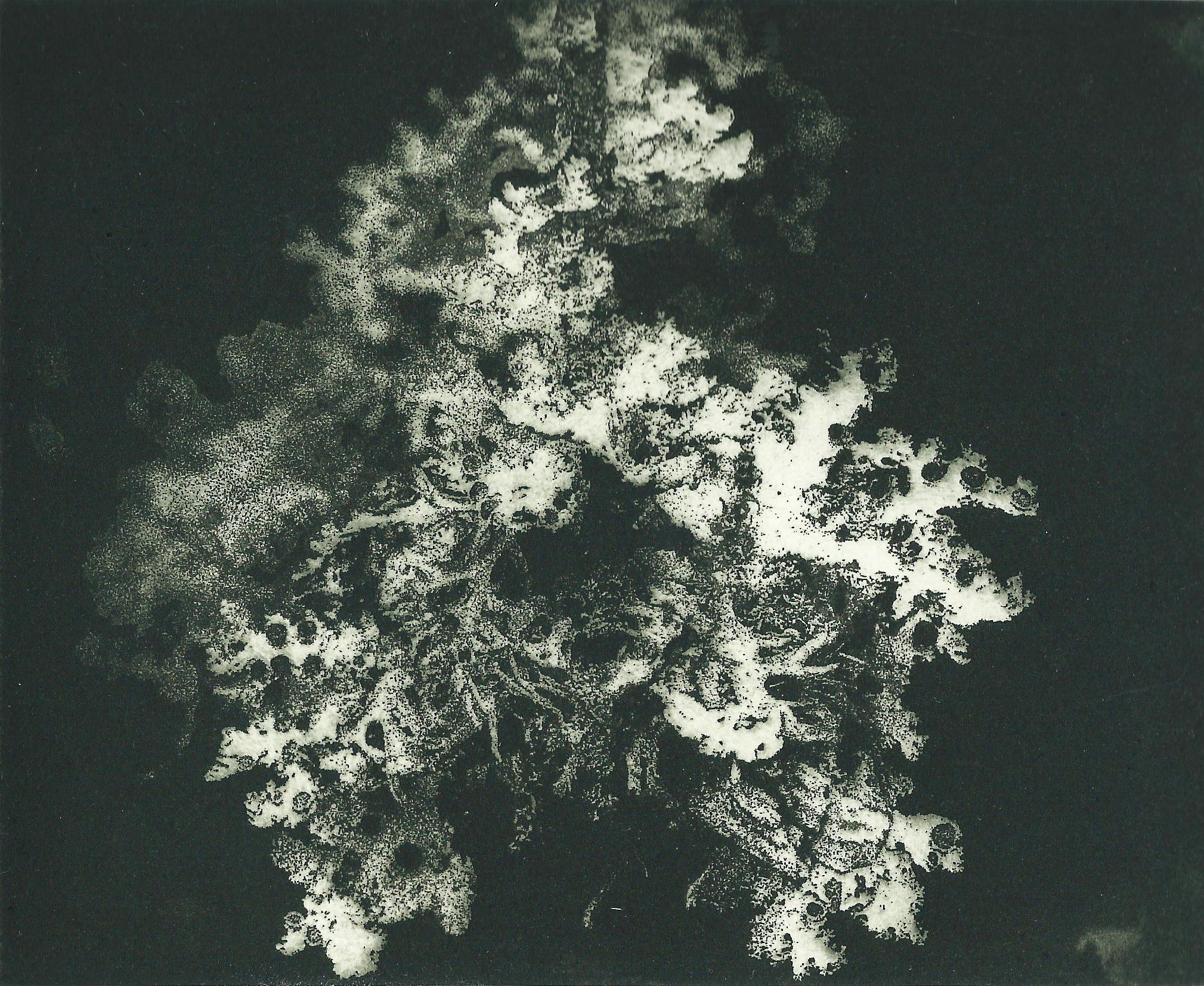 Lichen of the Tarkine