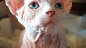 Где покупать котенка, в питомнике или у разведенцев?