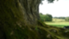 COTF_Brian Boru Tree Ireland_by_J_McKay.