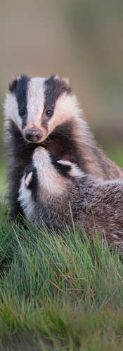 Badger and Cub
