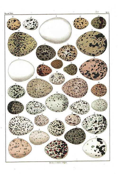 Bird Egg Print No. 09-Blank Note Card