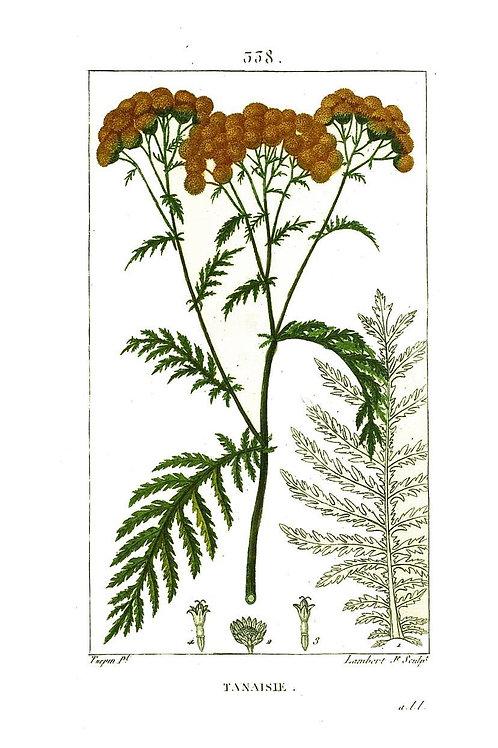 Botanical Print No. 32