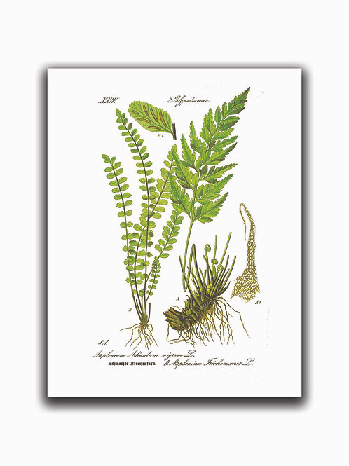 Fern Print 02-Blank Note Card