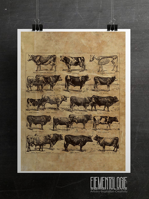 French Dictionary Plate Print-No.22135-A- Cattle/Beef/bétail/Boeuf