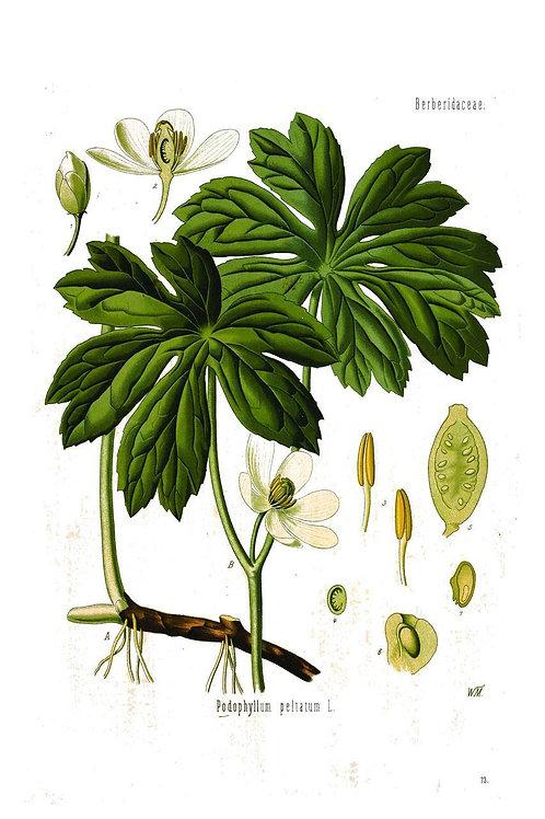 Botanical Print No. 021