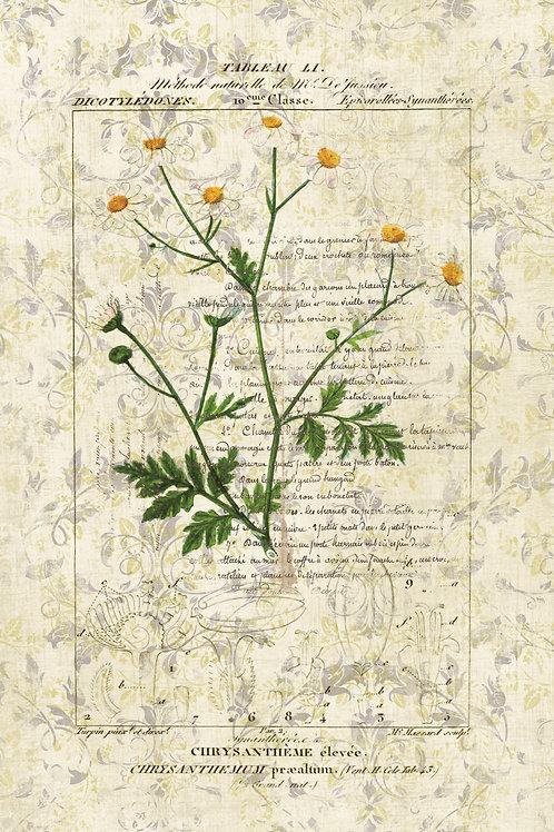 French Botanical Print No. 11