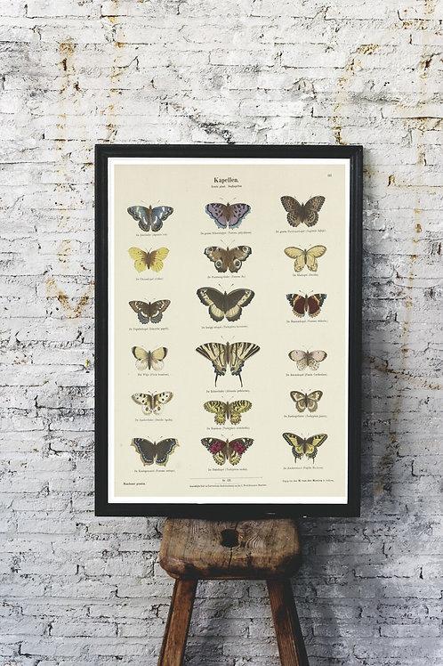Entomology Chart Print-Butterflies -No.88544