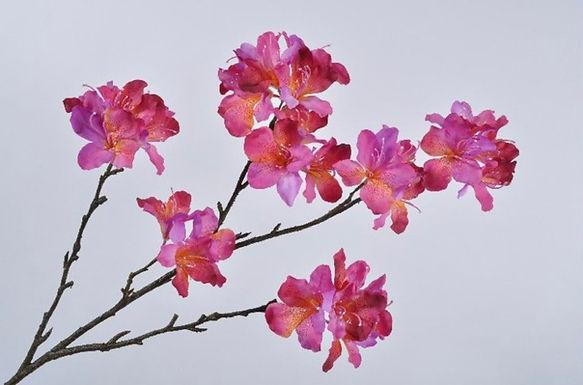 Rhododendron tak geel roze