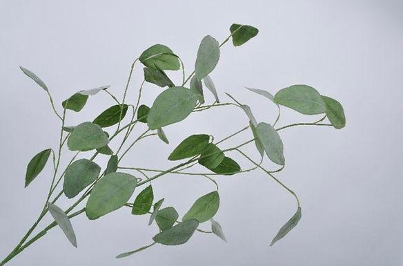 Eucalyptus tak