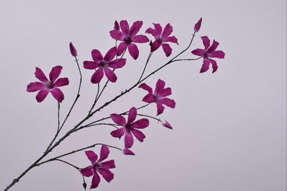 Clematis Tak Lavendel
